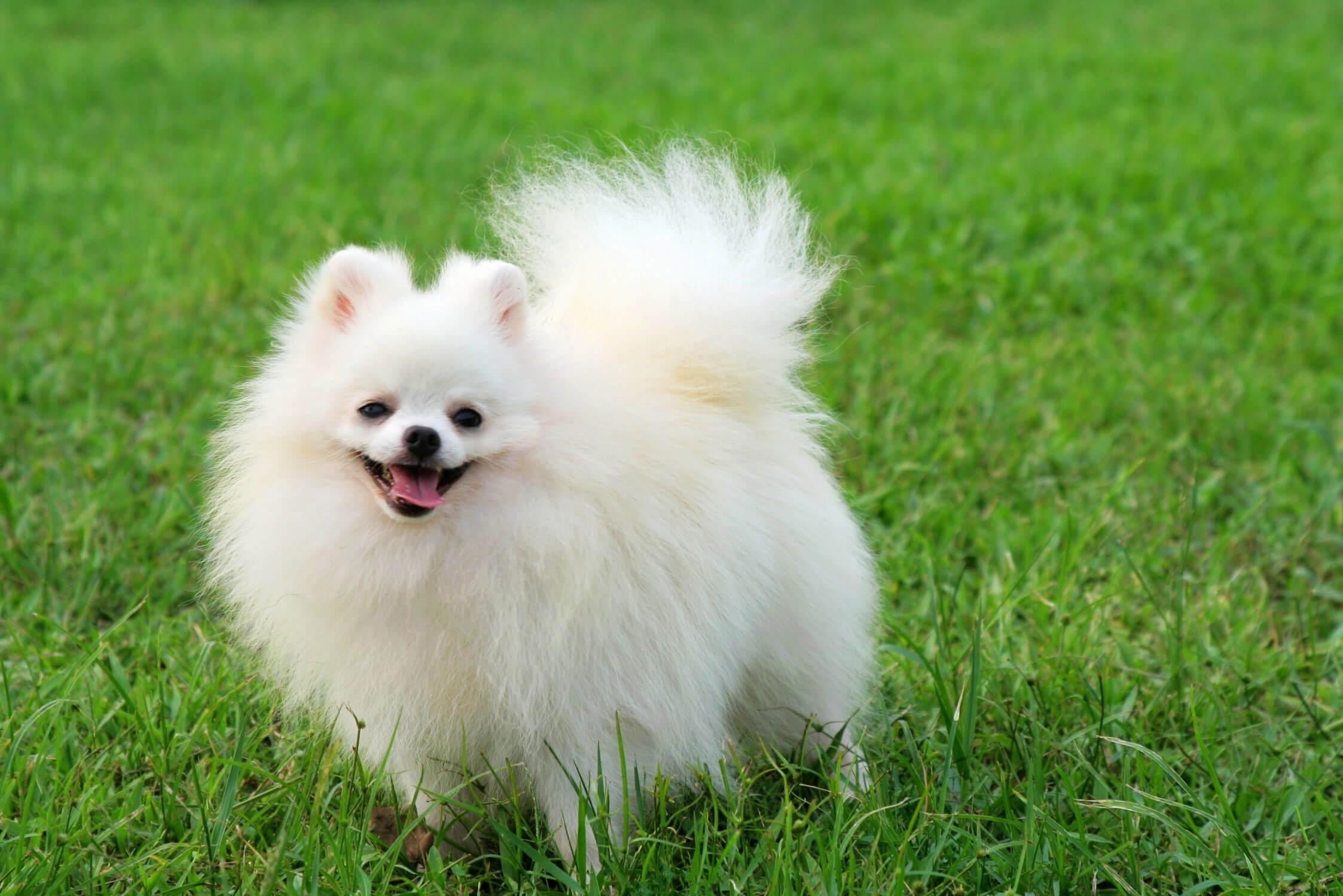 White Pomeranian Images Stock Photos amp Vectors  Shutterstock